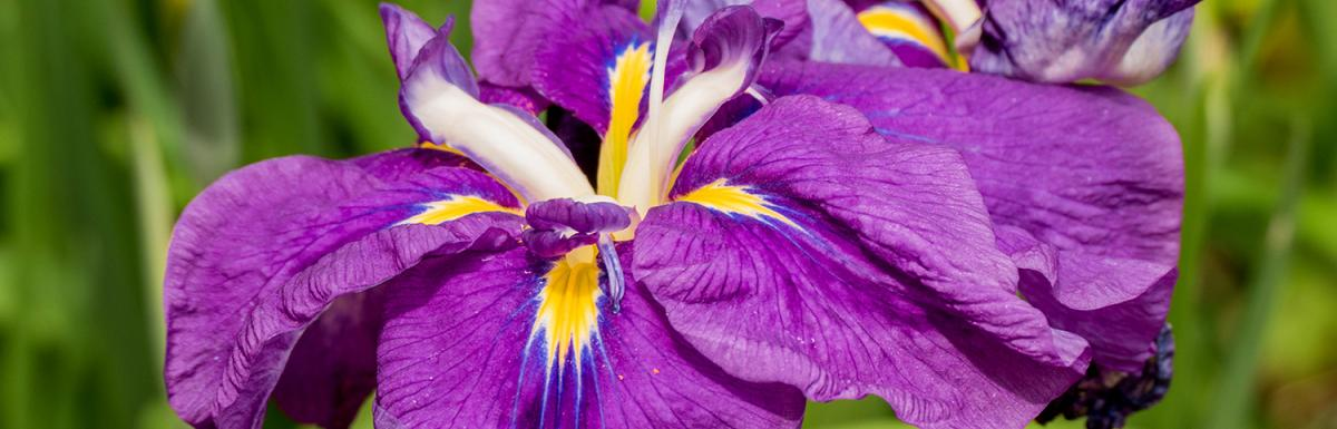 Purple Japanese Iris in Bloom