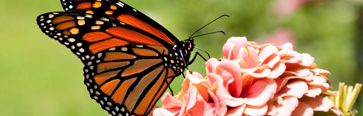 Monarch Butterfly on Zinnia Flower