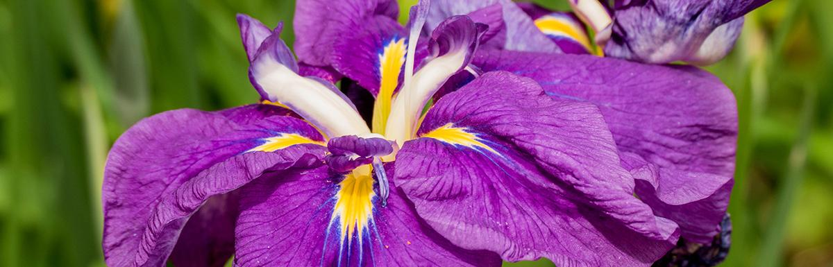Closeup of Purple Irises