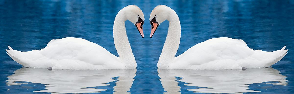 Two white swans face each other on blue water.